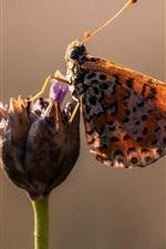Schmetterling, Blume, Flügel, Flecken