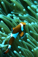 Preview iPhone wallpaper Clown fish, coral, underwater