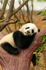 Preview iPhone wallpaper Cute panda bear sleep, rest, tree, zoo