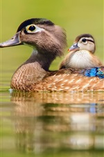 Preview iPhone wallpaper Duck swimming, water, motherhood and cub