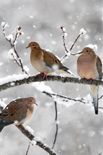 Preview iPhone wallpaper Five birds, mourning doves, twigs, snow, winter, Nova Scotia, Canada