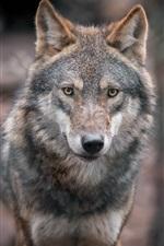 Preview iPhone wallpaper Gray wolf, predator, portrait, bokeh