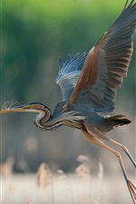 Preview iPhone wallpaper Great blue heron flying, wings, grass