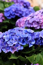 Preview iPhone wallpaper Hydrangea flowers blooms in the spring
