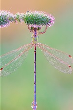 Preview iPhone wallpaper Insect, dragonfly, grass, morning, dew drops