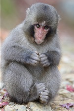 Preview iPhone wallpaper Japanese macaque, monkey, sitting, rocks