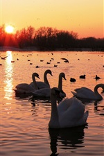 Preview iPhone wallpaper Lake, swans, birds, sunset, trees, red sky