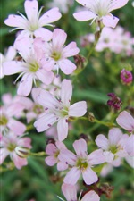 Preview iPhone wallpaper Little flowers close-up, gypsophila