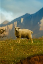 Preview iPhone wallpaper Lonely sheep, mountains, grass