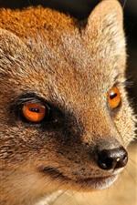 Mongoose, predator, red eyes