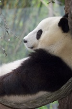 Preview iPhone wallpaper Panda relaxation, rest, tree
