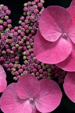 Preview iPhone wallpaper Pink flowers close-up, hydrangea