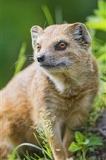 Preview iPhone wallpaper Predator, mongoose close-up, grass