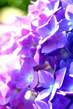 Preview iPhone wallpaper Purple and blue hydrangea flowers