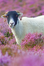 Preview iPhone wallpaper Purple flowers field, cute lamb