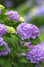 Preview iPhone wallpaper Purple flowers, hydrangea