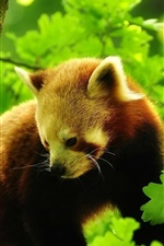 Preview iPhone wallpaper Red panda in tree, green leaves