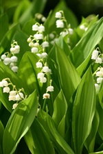 Preview iPhone wallpaper Small white flowers, lily of the valley