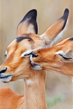 Preview iPhone wallpaper South Africa, impala, love kiss