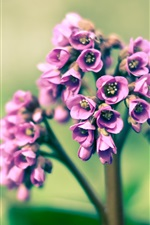 Preview iPhone wallpaper Spring, purple little flowers, macro photography