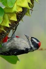 Preview iPhone wallpaper Sunflower, bird, woodpecker, leaves
