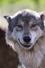 The wolf look like smile