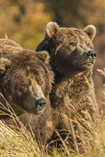 Two grizzly in the grass, bears