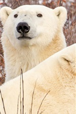Preview iPhone wallpaper Two polar bears, branches