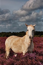 Preview iPhone wallpaper White horse in the lavender field