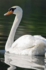 Preview iPhone wallpaper White swans, mother, children, pond