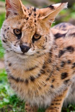 Preview iPhone wallpaper Wild cat, serval