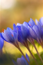 Preview iPhone wallpaper Blue crocuses, flowers close-up, bokeh
