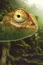 Preview iPhone wallpaper Chameleon close-up, nature, birds, sun rays, Desktopography pictures