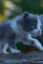 Cute kitten baby, furry, walking