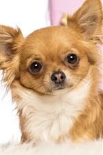 Vorschau des iPhone Hintergrundbilder Tierisch, Fuchs Hund