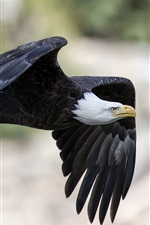 Preview iPhone wallpaper Eagle flying, black wings