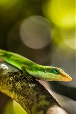 Preview iPhone wallpaper Green lizard, tree branch, bokeh