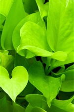 Preview iPhone wallpaper Green plants close-up, pothos
