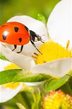 Preview iPhone wallpaper Ladybug, beetle, insect, strawberry flower, macro photography