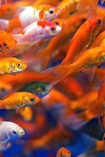 Preview iPhone wallpaper Many fish, goldfish, water