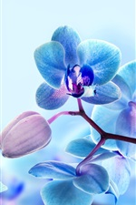 Preview iPhone wallpaper Orchid flowers, blue color petals