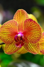 Orchid petals, phalaenopsis, orange red