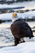 Preview iPhone wallpaper Predator, bald eagle, bird close-up, winter, snow