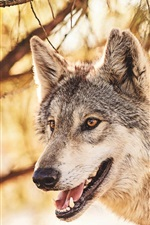 Preview iPhone wallpaper Predator, wolf in the forest, animals close-up