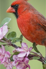 Preview iPhone wallpaper Red cardinal bird, Apple tree, flowers blossom, spring