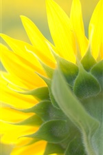 Preview iPhone wallpaper Sunflower close-up, flower cap, rear, yellow petals