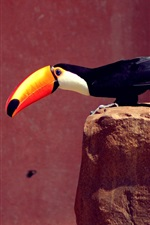 Preview iPhone wallpaper Toucan, orange beak, black feathers, stones