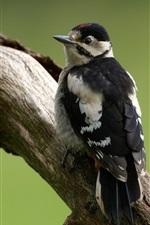 Woodpecker, bird, tree trunk