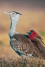 Preview iPhone wallpaper Arabian bustard, riders, birds, Afar depression, Africa