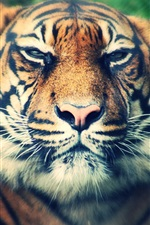 Preview iPhone wallpaper Big cat, tiger, predator, mustache, face close-up